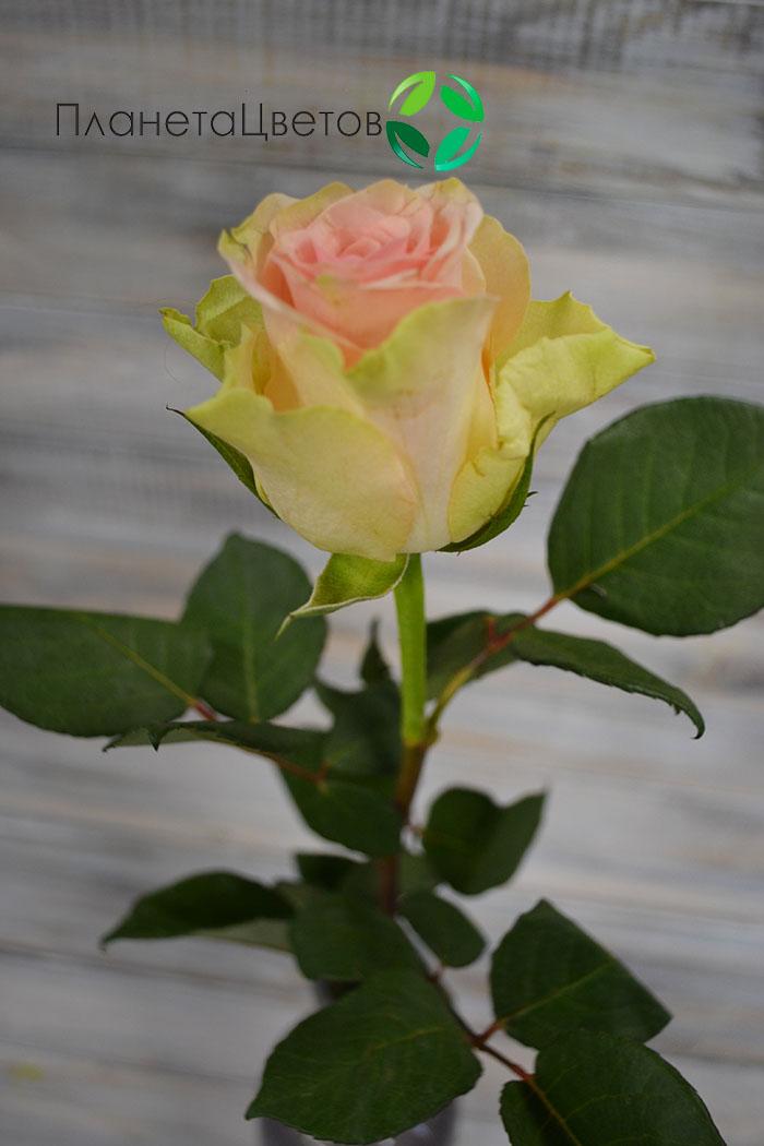 Роза Топ Гир