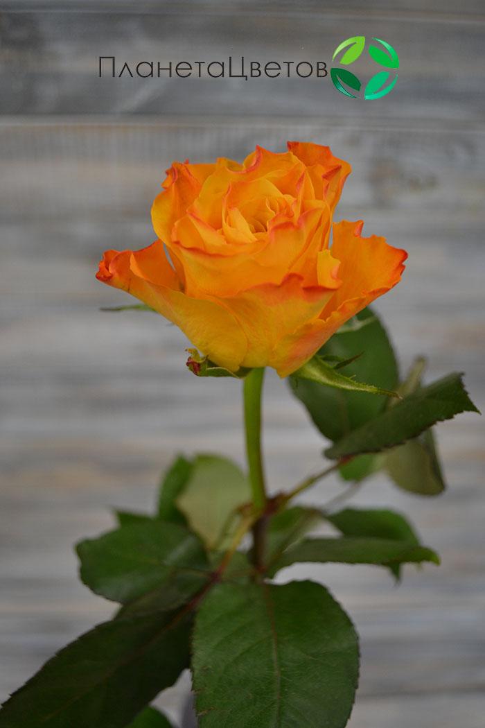 Роза Джокер