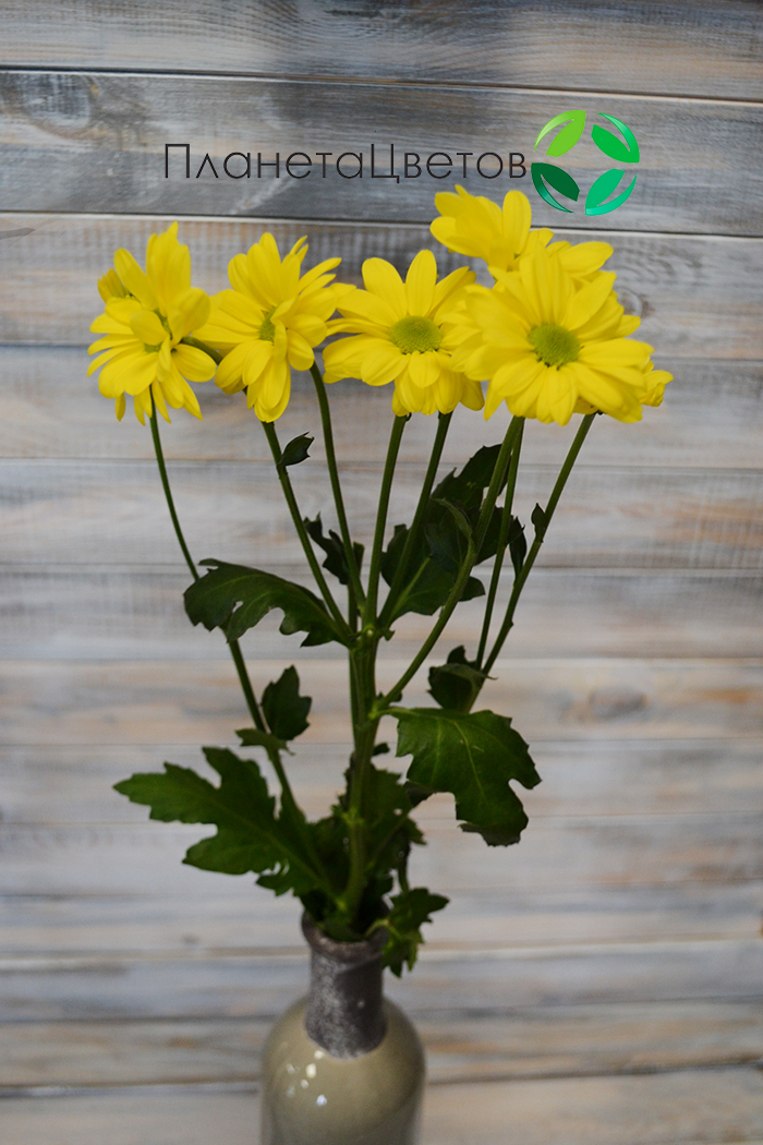 Хризантема Целебрейт