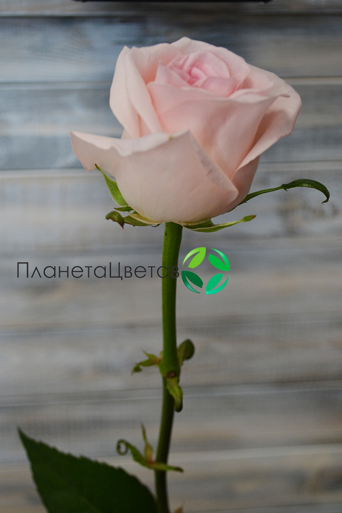 Роза Аваланж Свит