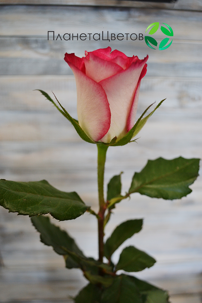 Роза Дубль Дат
