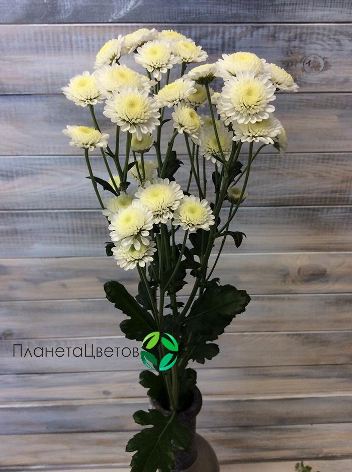 Хризантема кустовая Сталион
