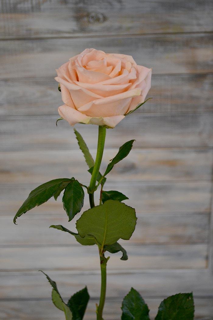 Роза Тифани