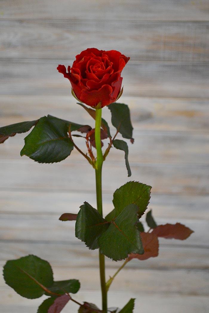 Роза Эльтора