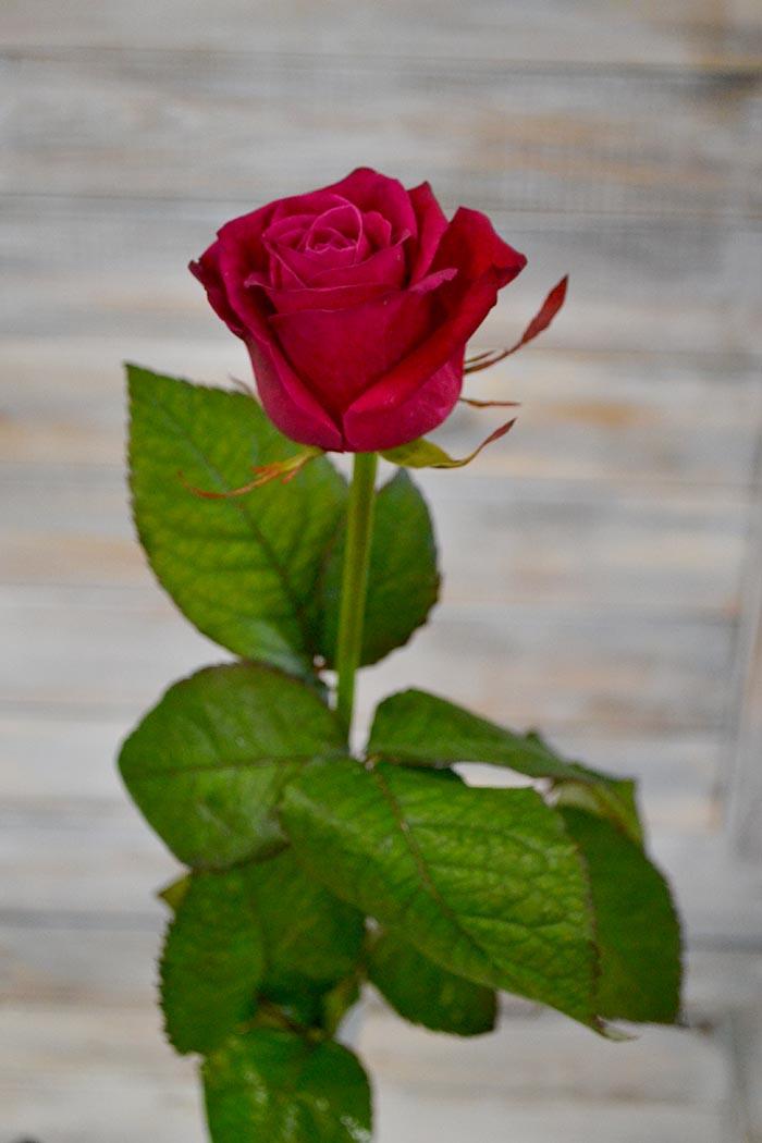 Роза Шангрила